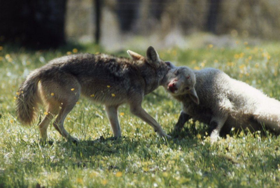 Coyotes are a constant nuisance for sheep farmers and now even pet owners.