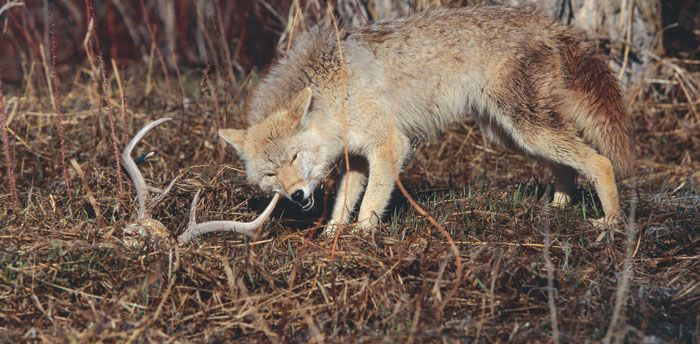 Coyotes have replaced wolves in many regions where wolves have been extirpated.