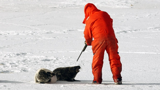 The seal hunt. A very controversial practice in Canada.